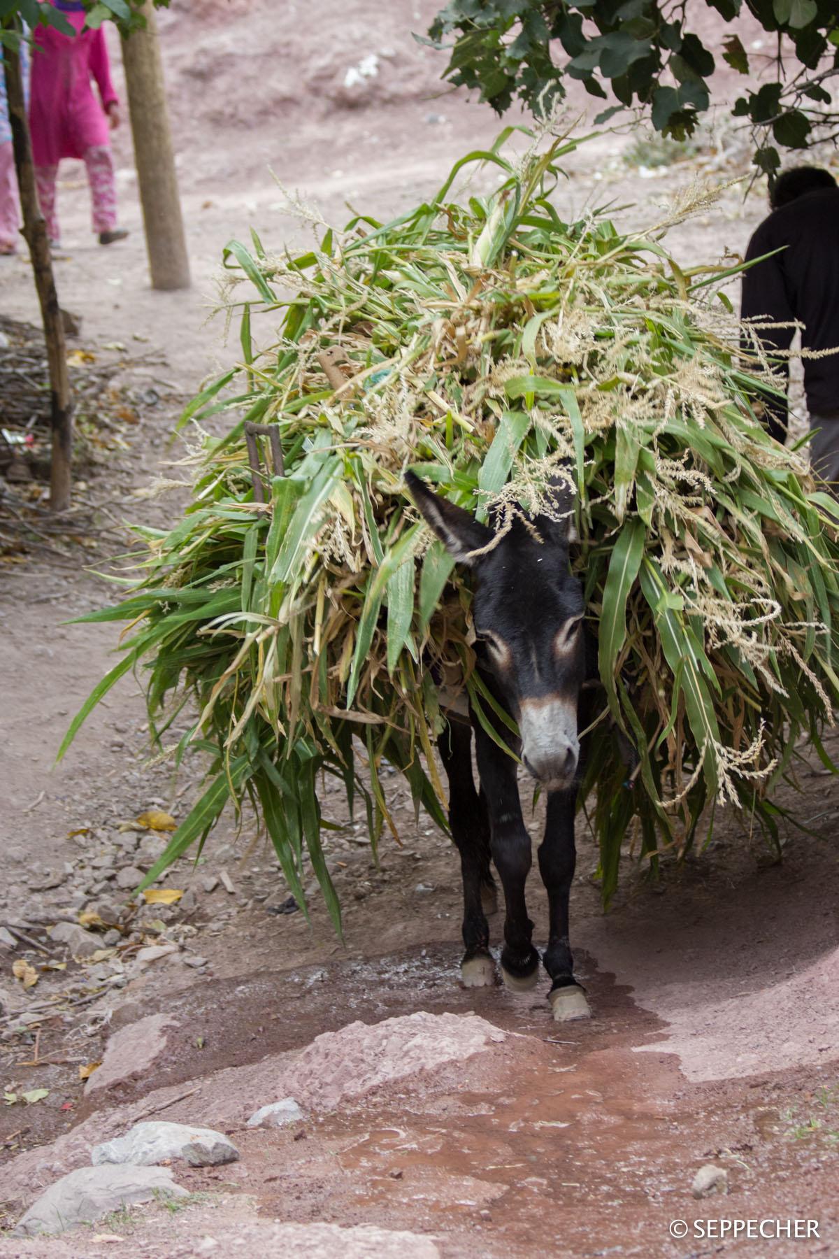 L'âne camouflage.
