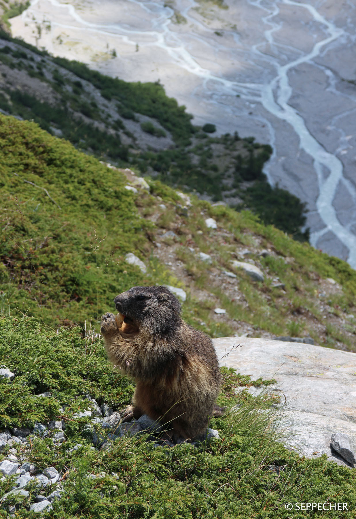 Une marmotte mendiante.